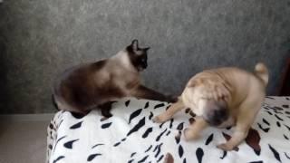 Шарпей,падение от суровой лапы кота|Приколы 2017|Собаки