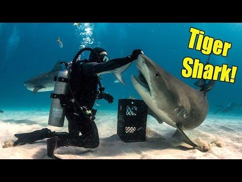 Handling Tiger Sharks Jonathan Bird S Blue World Youtube