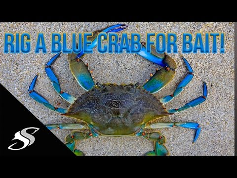 How To Rig A Blue Crab For Fishing - Redfish Candy!