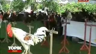 Video TOPIK ANTV Kontes Ayam Ketawa yang Membuat Bahagia download MP3, 3GP, MP4, WEBM, AVI, FLV Mei 2018