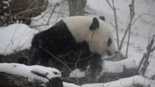 Bao Bao vocalizing