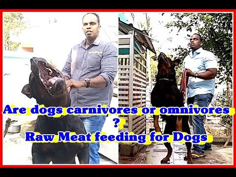 Are dogs carnivores or omnivores?|Raw Meat feeding for Dogs