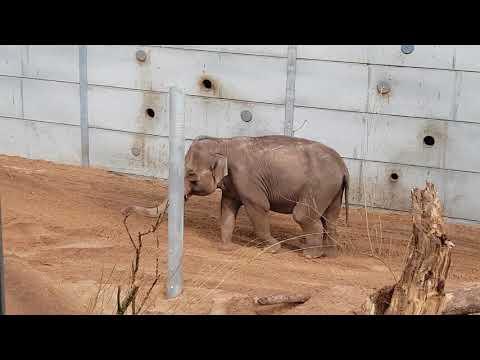 New Elephants 🐘 at Blackpool zoo