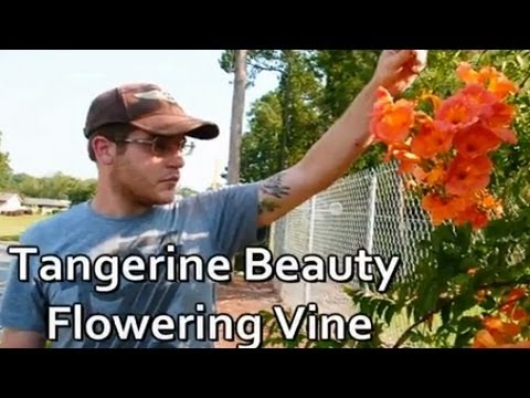**Tangerine Beauty Flowering Vine**  ++  Bignonia capreolata  ++ Orange  ++