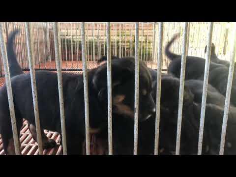 Bán chó rottweiler 4 triệu 7kg giá rẻ 0982481471 Long Khánh Đồng Nai