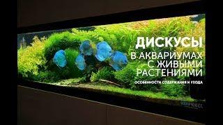 Дискусы в аквариумах с живыми растениями.
