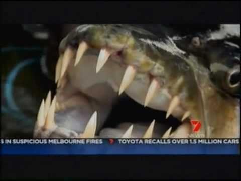 piranha-géant-de-50-kg-pêché-.