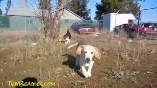 Pocket Beagles Play Time Racing & Playing Around Running Funny Cute