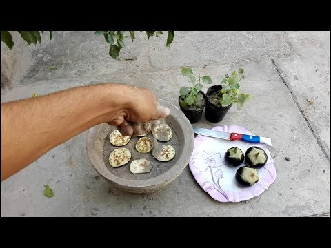 Grow Eggplant In Container At Home Kitchen Gardening