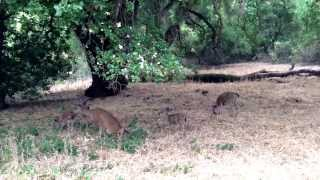 Pooping deers in Rancho San Antonio Open Space Preserve