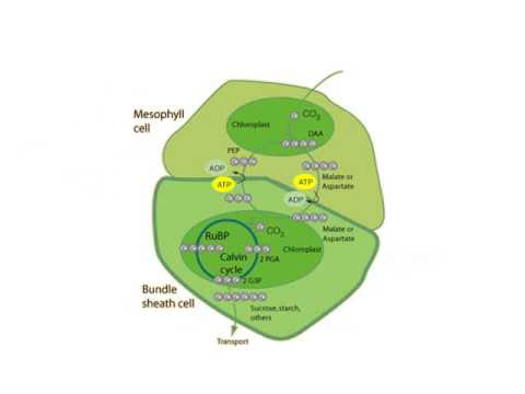 Plant respiration diagram application wiring diagram photosynthesis and respiration in plants youtube rh youtube com respiration cycle diagram photosynthesis and cellular respiration diagram ccuart Images