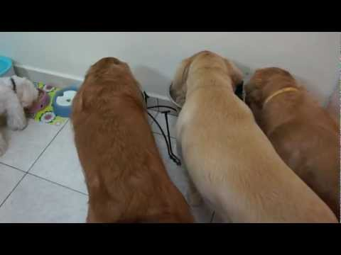dogs wait for the command to eat