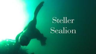 Steller Sealion Encounter