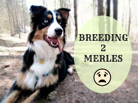 Puppy Series: What Happens When You Breed Two Merles?