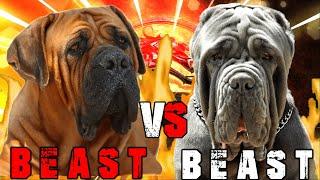 Boerboel vs Neapolitan Mastiff   Neapolitan Mastiff vs Boerboel   Powerful Guard dog   Billa Boyka  