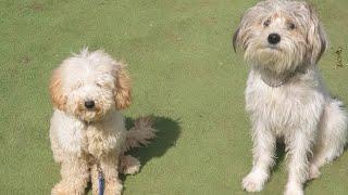 Bichon Havanese Köpek Eğitimi | Toy Poddle Köpek Eğitimi !