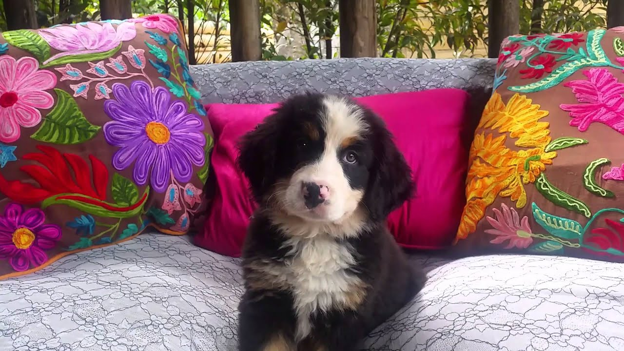 Bernese Mountain Dog And Puppies For Sale In Houston Texas