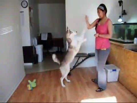 Siberian Husky SMART at 4 months