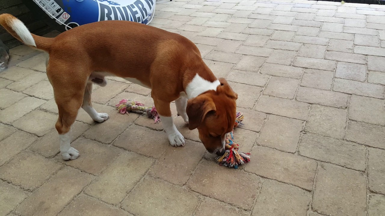 Jack Russell Cane Corso Dog 1.5 Year(2)