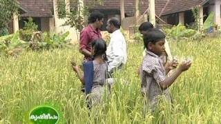 Upland Paddy Cultivation done by Primary School Students in Trivandrum