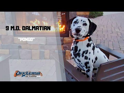 dalmatian-/-dog-training