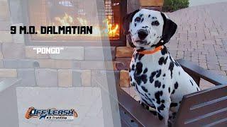 DALMATIAN / DOG TRAINING