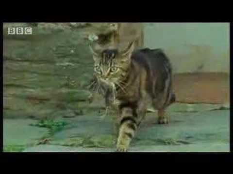 Cute Baby Kittens Develop Their Hunting Instinct- BBC Wildlife