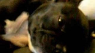 Zelda - The Sleeping Beauty. (french Bulldog)