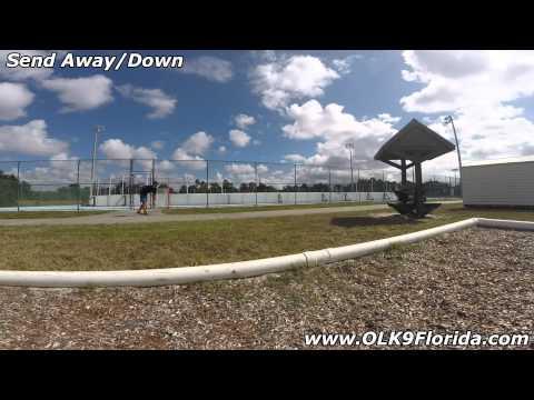 "5mo Australian Shepherd ""Callaway"" obedience video! Space Coast Dog Training."
