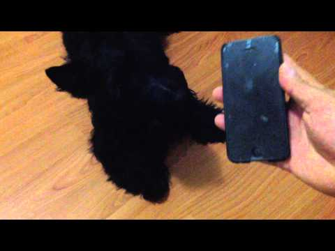 Gilmour the Scottish Terrier howling to Scottish Bagpipers