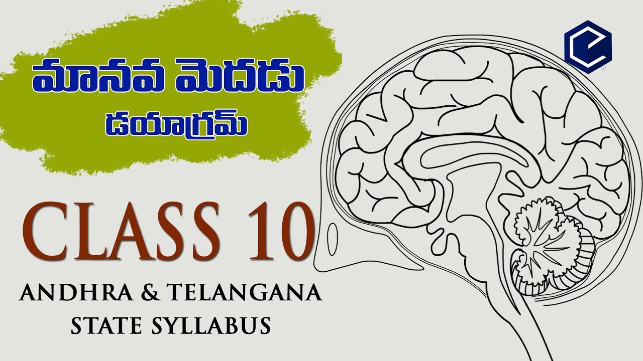 medium resolution of  how to draw brain diagram easy 10th biology science ap ts state syllabus