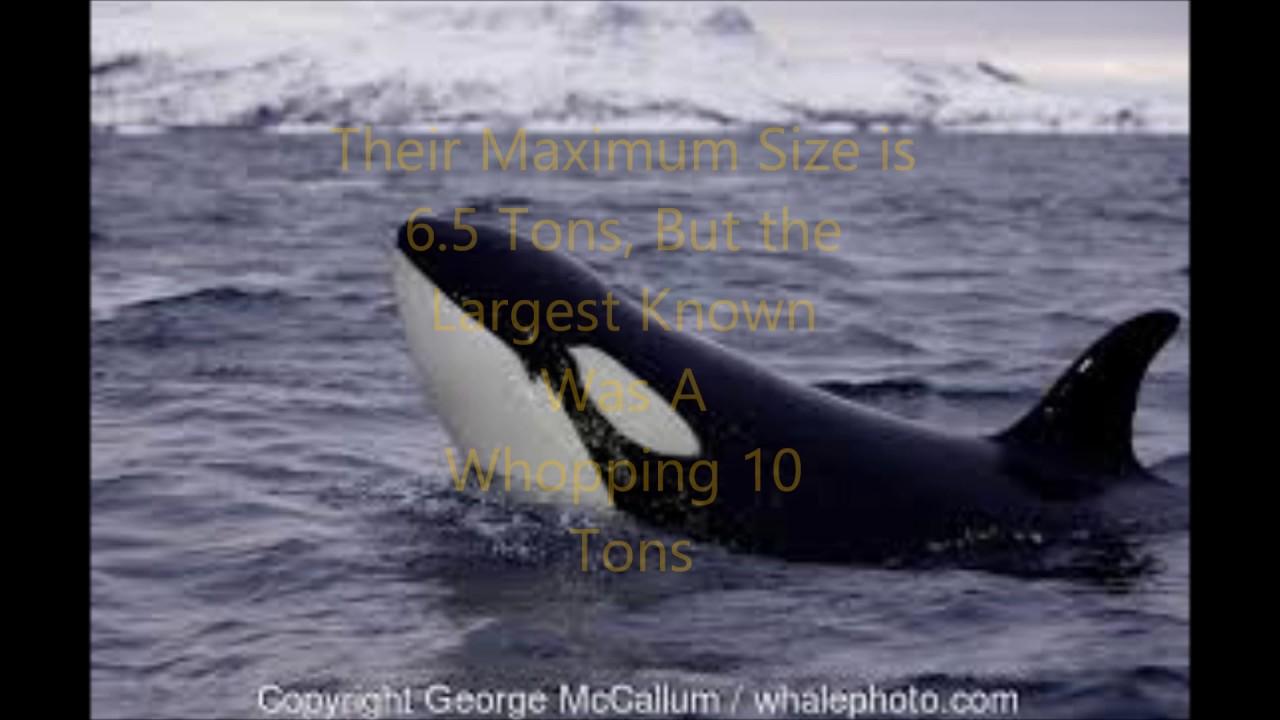 Animal Fight Club Season 1 Episode 6: Polar Bear Vs Killer ...