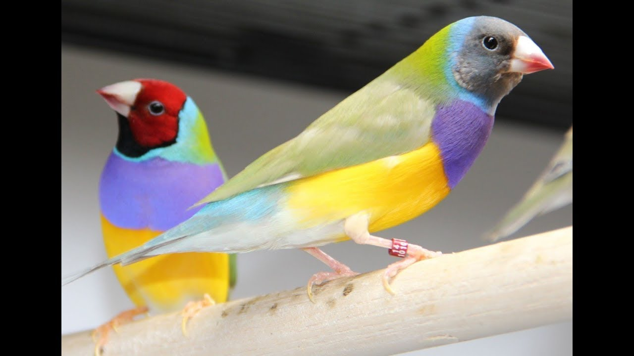 How to sex gouldian finches