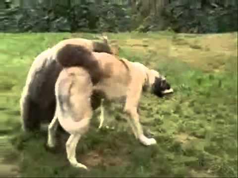 Turkish Kangal Dog fighting  with bear.