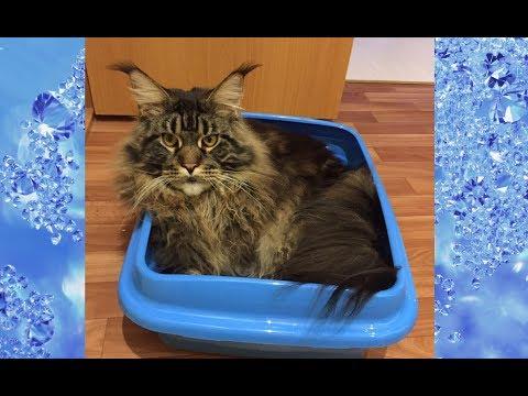 Кошка стала ходить мимо лотка? / Почему кошка гадит? / Основные причины / Приучение к лотку