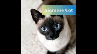 Siamese cat cats breeds (we love cats)