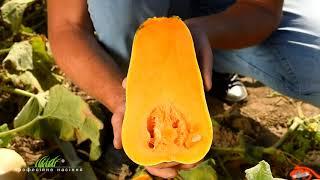 Секреты выращивания десертной тыквы UG 205 F1