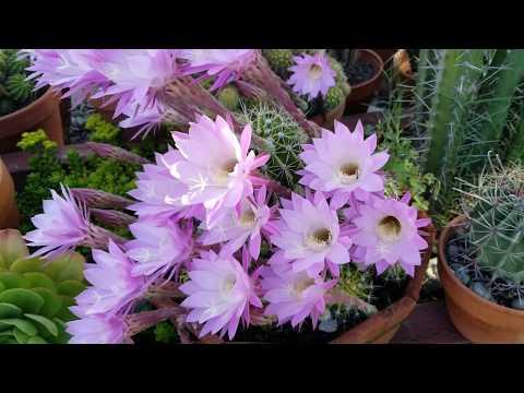 Cactus Flower Report June 2018