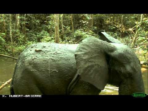 animaux sauvages photographiés par photo-pièges à Nyonié au Gabon de 2009 à avril 2012.avi