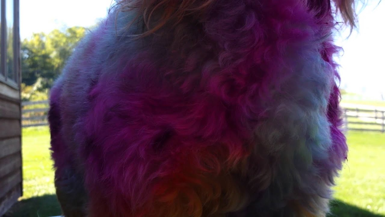 How to dye your dog with Koolaid, Manic Panic and Food Coloring PART ...