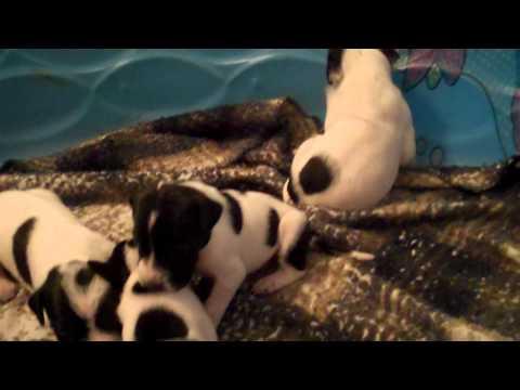 English Pointer pups 2 weeks old