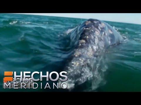 Llegan las ballenas a Baja California Sur