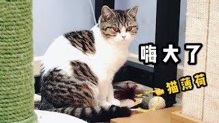 【李喜貓】主人给了个猫薄荷球猫咪们都玩疯了,小短腿父女兴奋得满地打滚