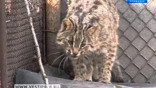 В Приморье вышла первая  книга о жизни  дальневосточного кота
