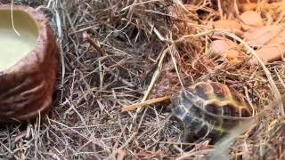 Как нужно содержать сухопутную черепаху дома. Делимся опытом. Террариум черепахи.