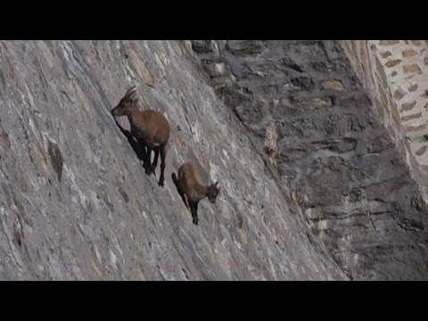 Alpine Ibex defies gravity on Italian near-vertical dam