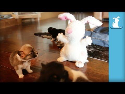 Corgi Puppies Bark At Dancing Bunny! - Puppy Love
