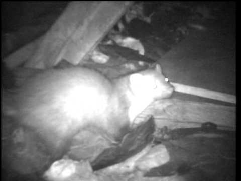 Atemberaubend Marder im Dach beim Ratte fressen - YouTube &RR_79