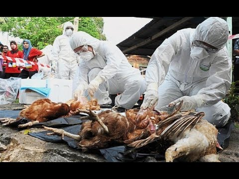 Bird Flu Pampanga - State of Calamity