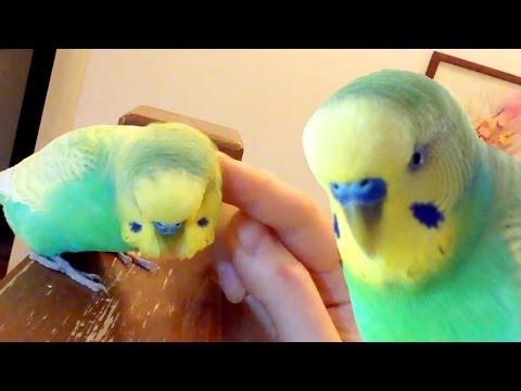 Смешной говорящий попугай Филя